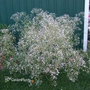 Baby S Breath Gypsophila Paniculata Snow Flake Gypsophyila Baby S Shade Perennials Shade Plants Dream Garden