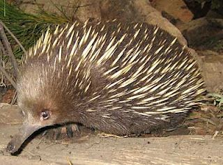 This Little Chap Is An Echidna Native To Australia Although He