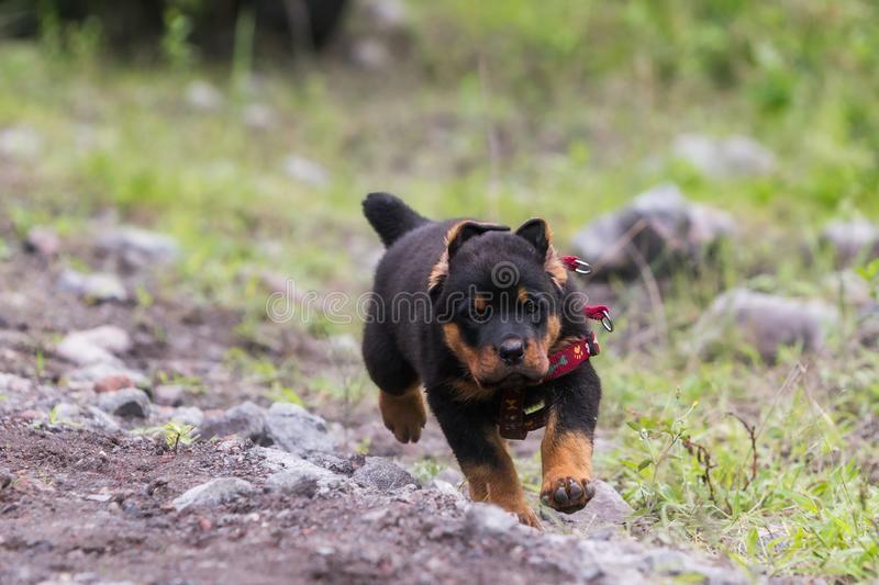 Rottweiler Male Puppy Running Rottweiler Puppy Running And