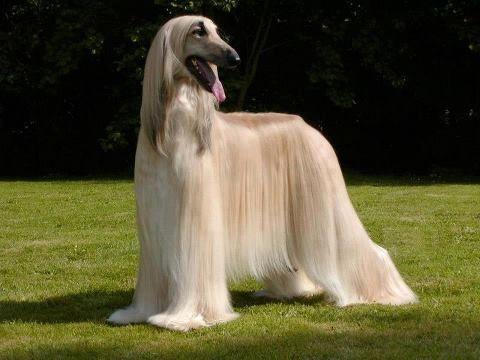 Long Haired Afghan Hound Hound Dog Breeds Afghan Hound Hound Dog