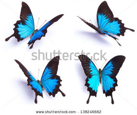 26cb97d3efdd Blue butterfly, Papilio Ulysses, isolated on white background ...