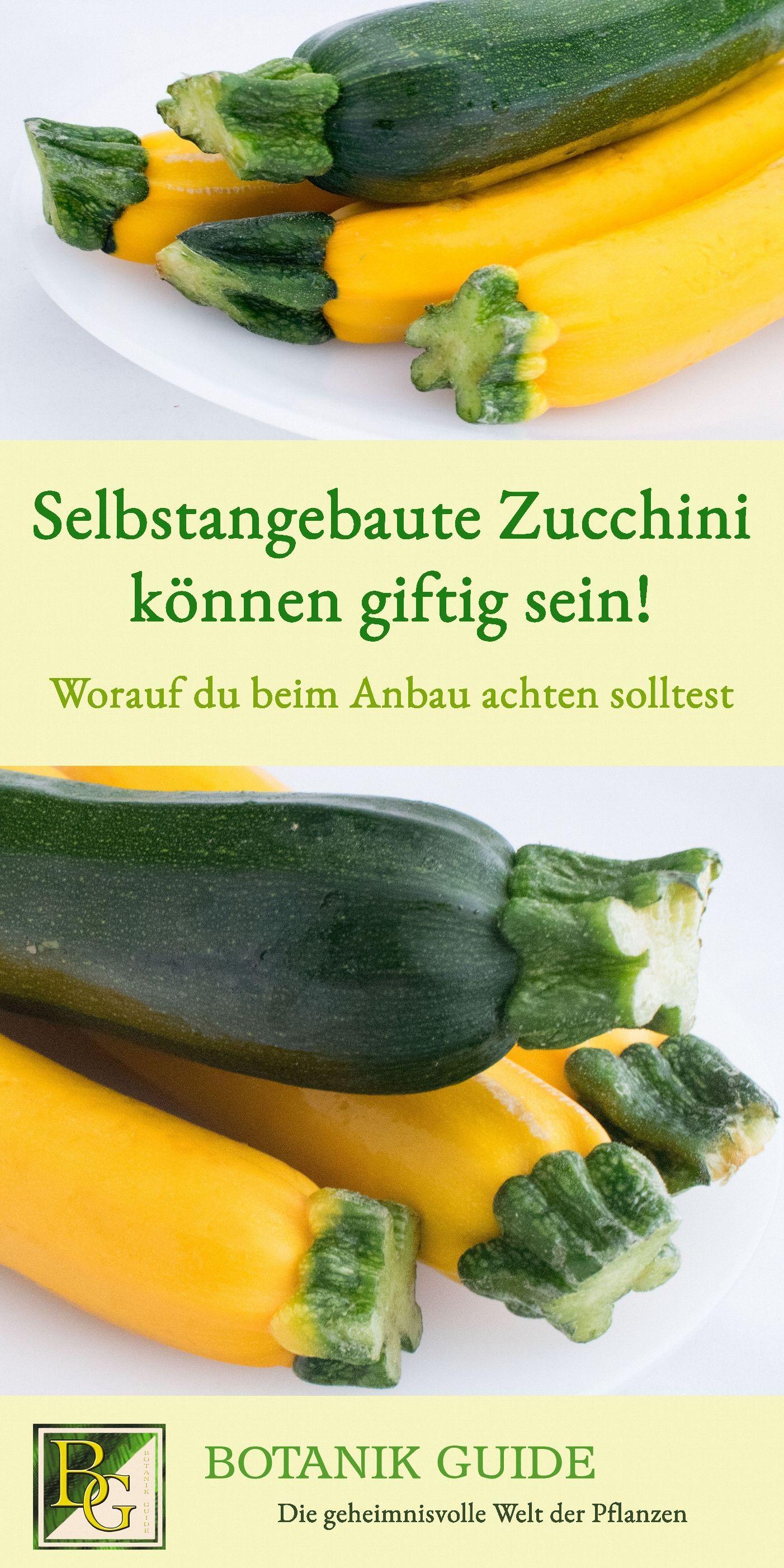 Darum Werden Zucchini Bitter Und Ungeniessbar Bitter Darum Und Ungenie Ungeniessbar Werden Zucchin Edible Garden Home Vegetable Garden Planting Vegetables