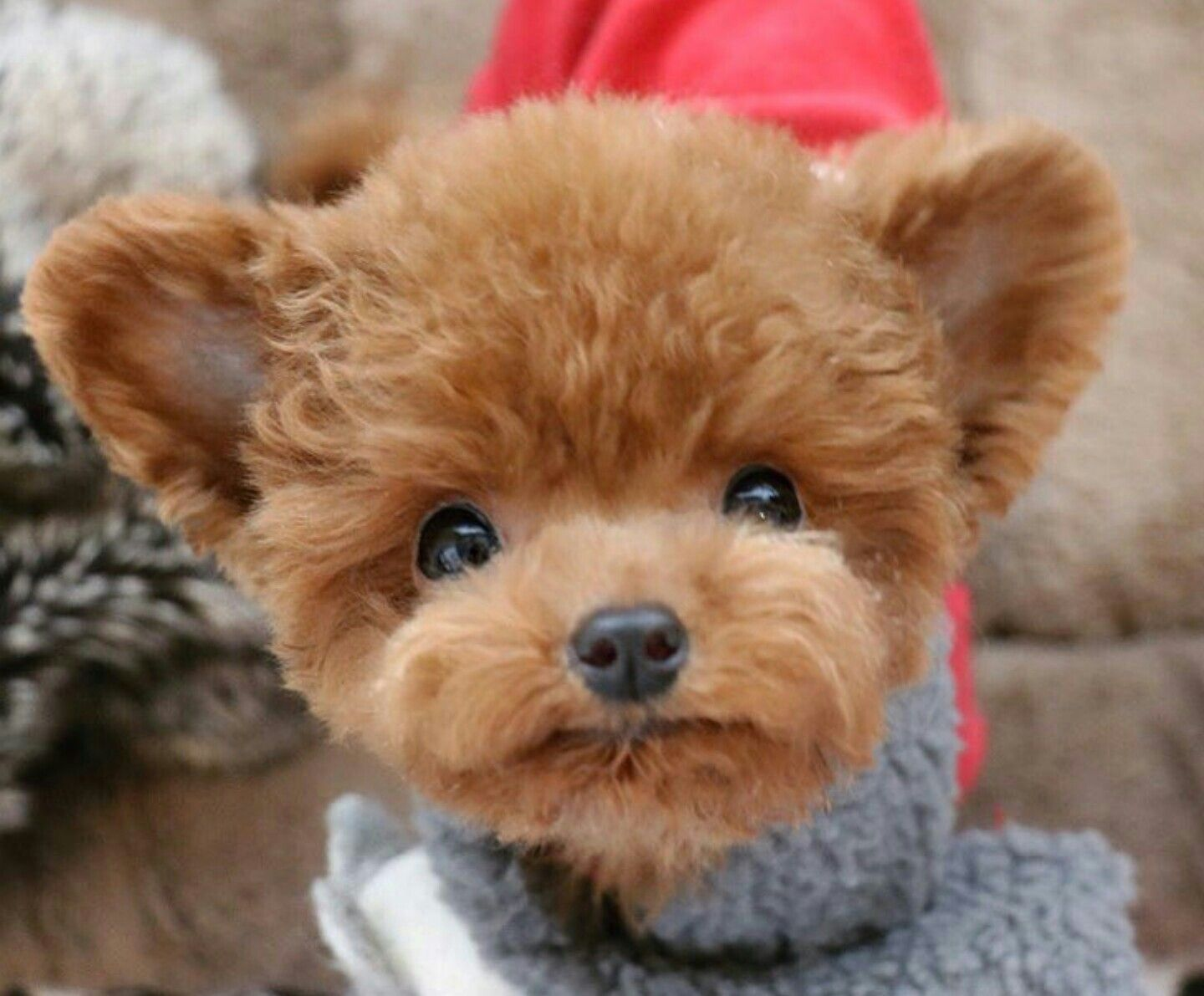 Adorable toy poodle toy poodle puppies cute animals