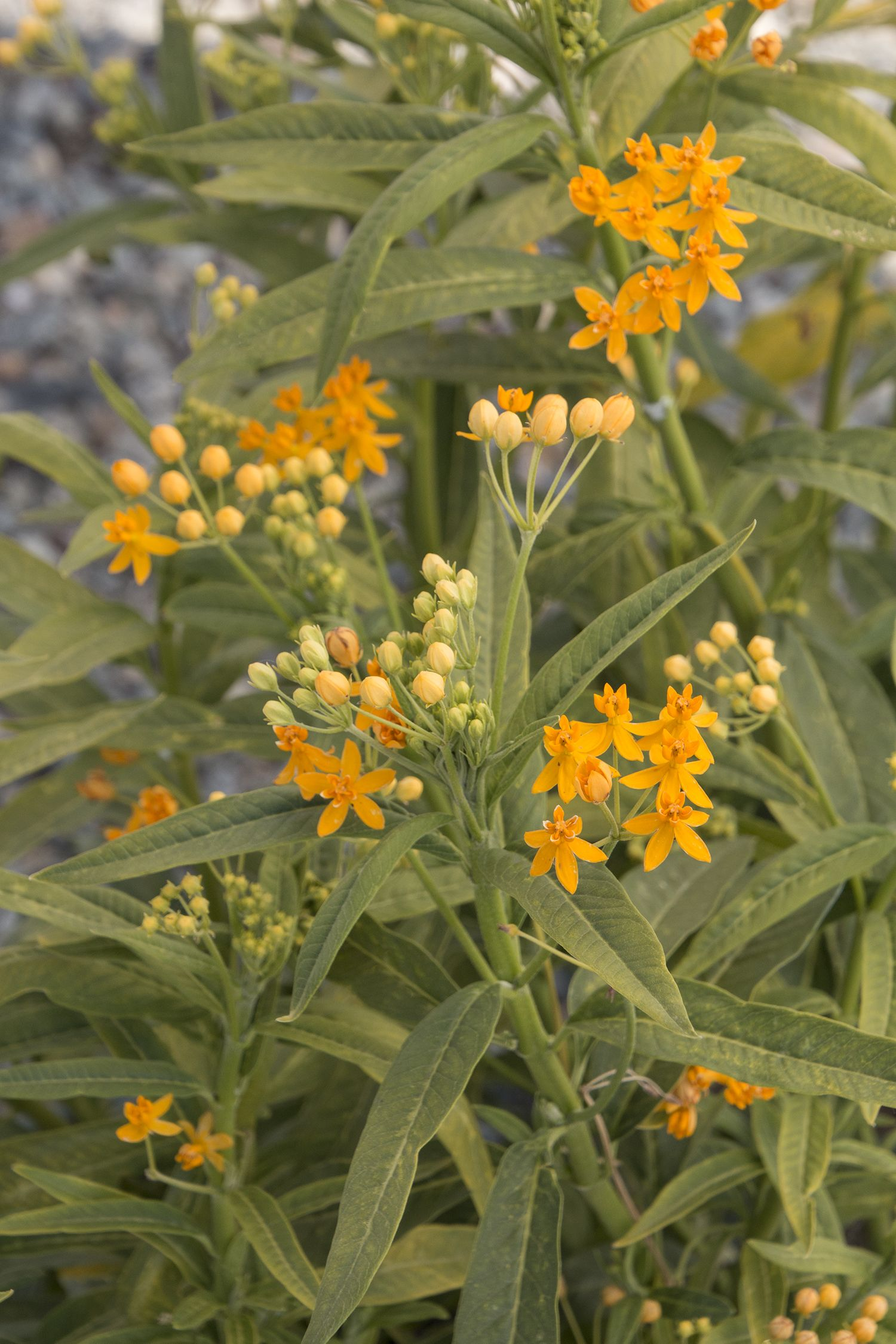 2017 perennial plant of the year silky gold milkweed is an exotic 2017 perennial plant of the year silky gold milkweed is an exotic yellow flowered variety of tropical milkweed from south america mightylinksfo