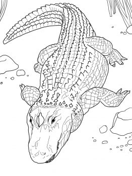 American Alligator Or Common Alligator Coloring Pages Animal Coloring Pages Animal Coloring Books