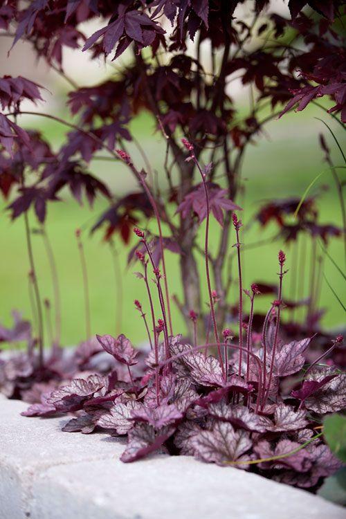 Acer palmatum 'Bloodgood' (Japansk blodlönn) och alunrot 'Silver Scroll'. I rabatten även klotlök och kärleksört.