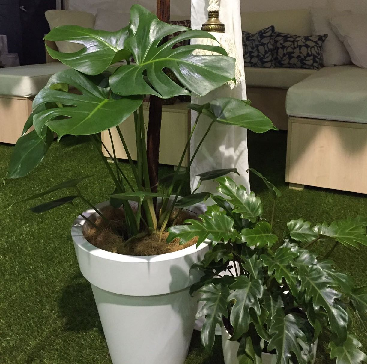 Monstera & philodendron xanadu | Pot plants for hire ... on