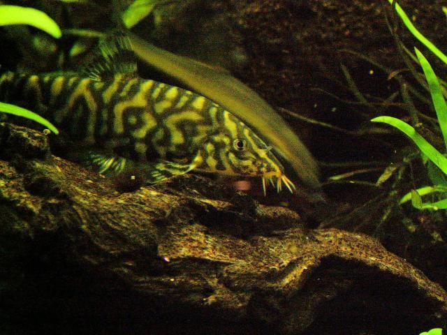 Get To Know The Friendly Yoyo Loach Freshwater Aquarium Fish Fish Breeding Fish