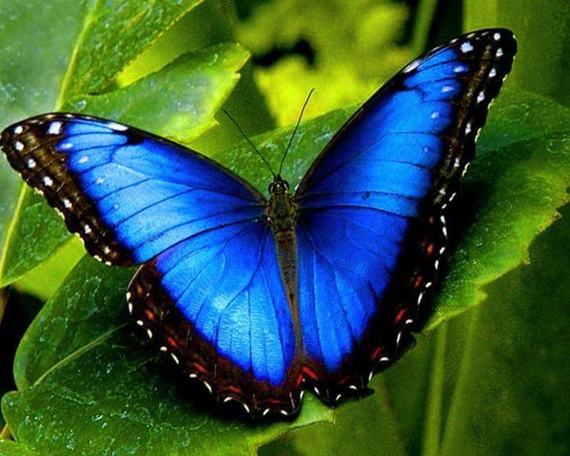 blue butterfly group - photo #29