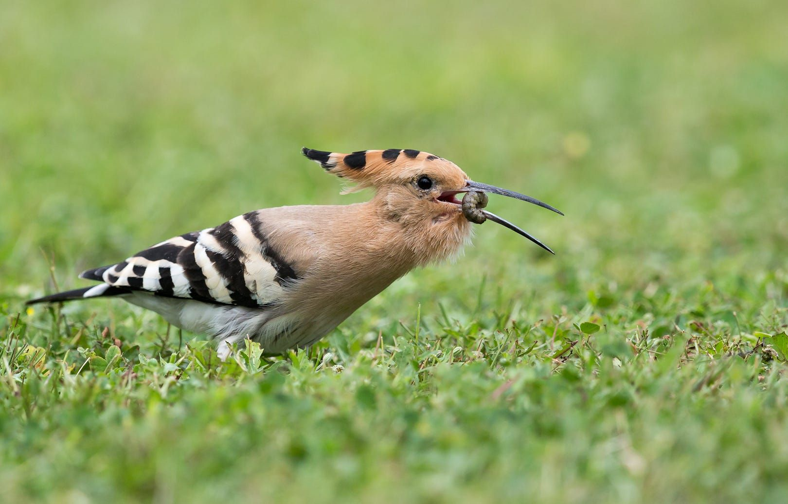 Hoopoe; huppe fasciée by daniel rusinowicz on 500px