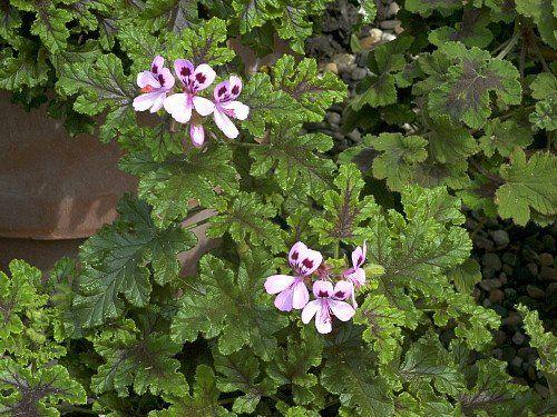 """Hirts: Perennials; Sun Mosquito Repellant Plant - Citronella Plant - Moskito Schocker - 4"""" Pot : Repellants"""