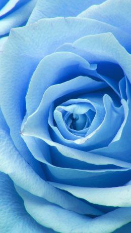 Ne44 Flower Blue Rose Zoom Love Blue Roses Wallpaper Rose Wallpaper Blue Roses