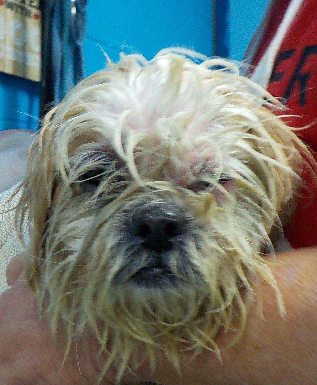 Adopt 35 Jojo Adopted On Shih Tzu Shih Tzu Dog Pets