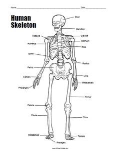 free printable human skeleton worksheet - Skeleton Worksheet