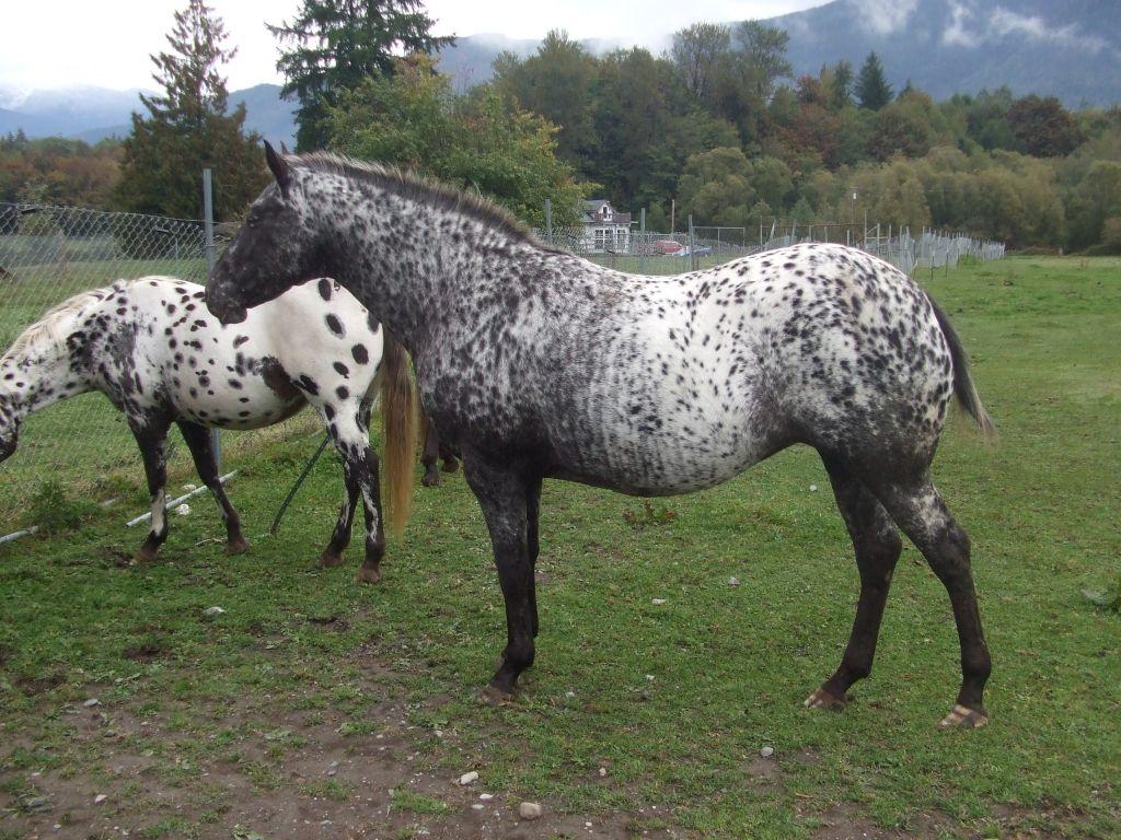 foundation appaloosa stallions | Wakon - Appaloosas