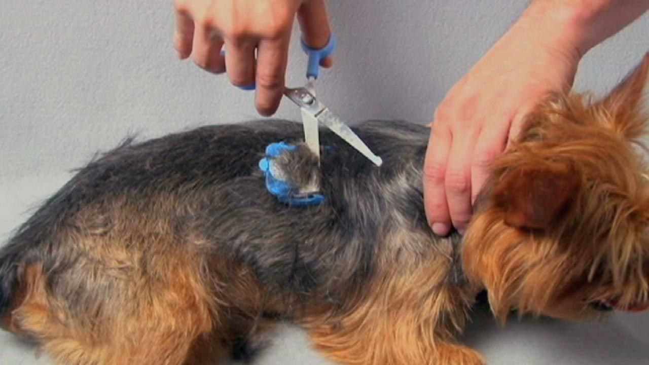 Peanut The Yorkie Getting A Trim Scaredy Cut The Silent Pet