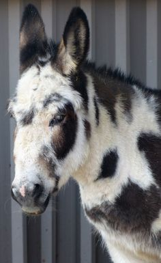 Cookie the tri-colored donkey at Island Farm Donkey Sanctuary, England.