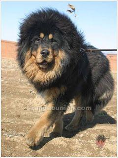 Chow shaved like a lion  | Animals | Tibetan dog, Tibetan mastiff, Dogs