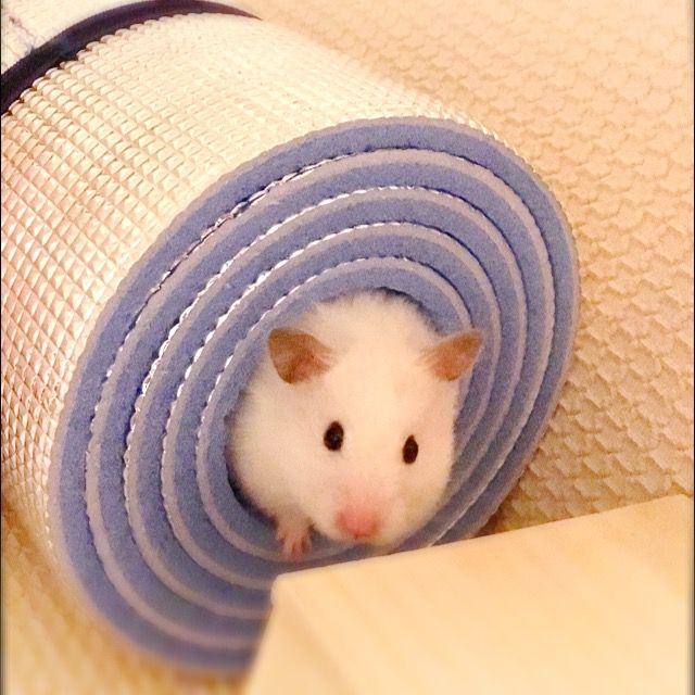 Pin Di Yuko O Su Hamster