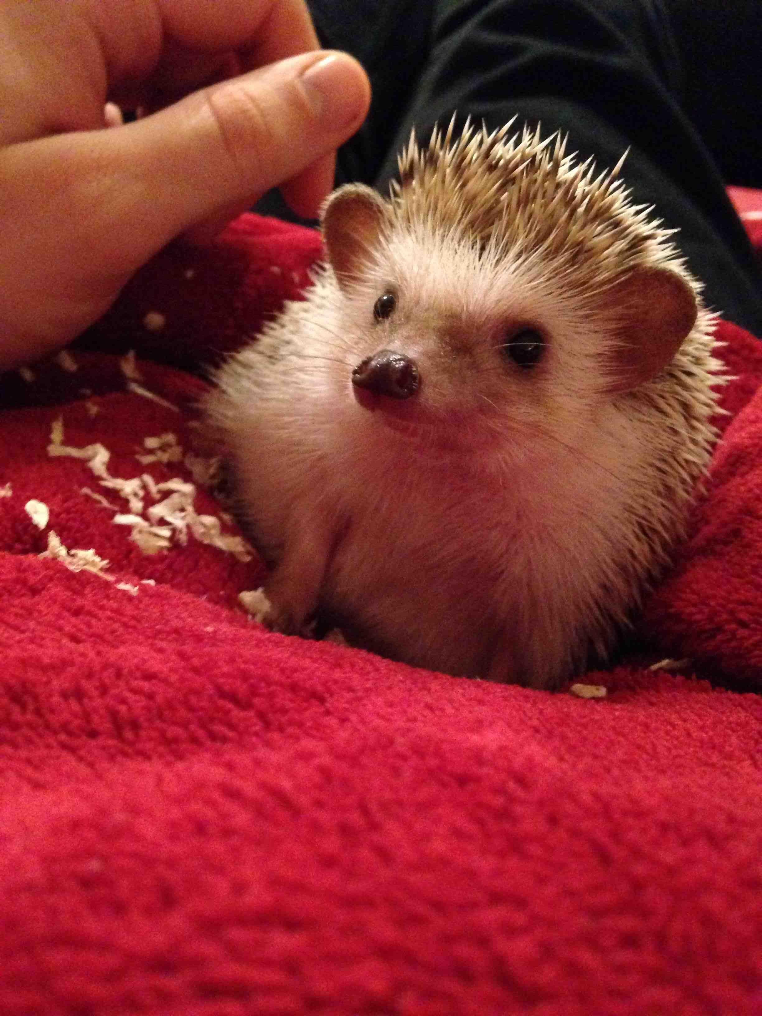 Hedgehog! via Reddit Hedgehog pet, Cute hedgehog