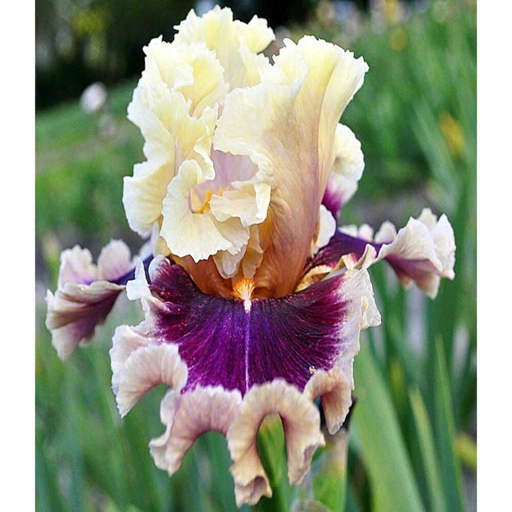 2 Iris Bulbs Bearded Perennial Resistant Bonsai Rhizomes Flowers Rare Plant Gift