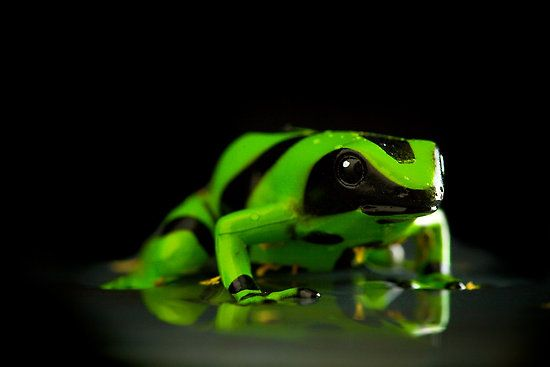 Poison Dart Frog Habitat | buy poison dart frogs poison dart frog diet green poison dart frogs ...