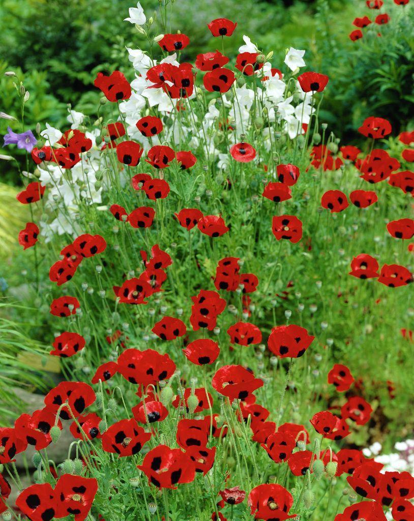 Papaver comutatum ladybird poppy google search helen odonnells papaver comutatum ladybird poppy google search izmirmasajfo