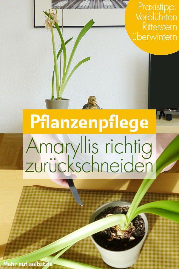 Amaryllis überwintern | selbst.de #amaryllisdeko