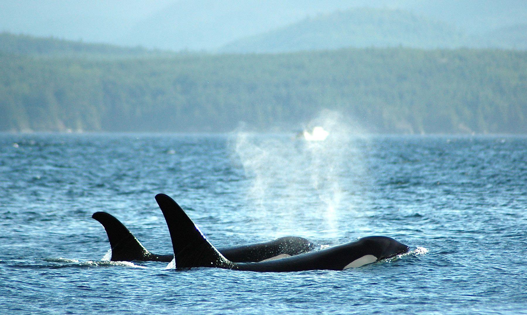 Kayak Vacations Around Vancouver Island British Columbia Canada Kayak Vacation Wildlife Tour Orca
