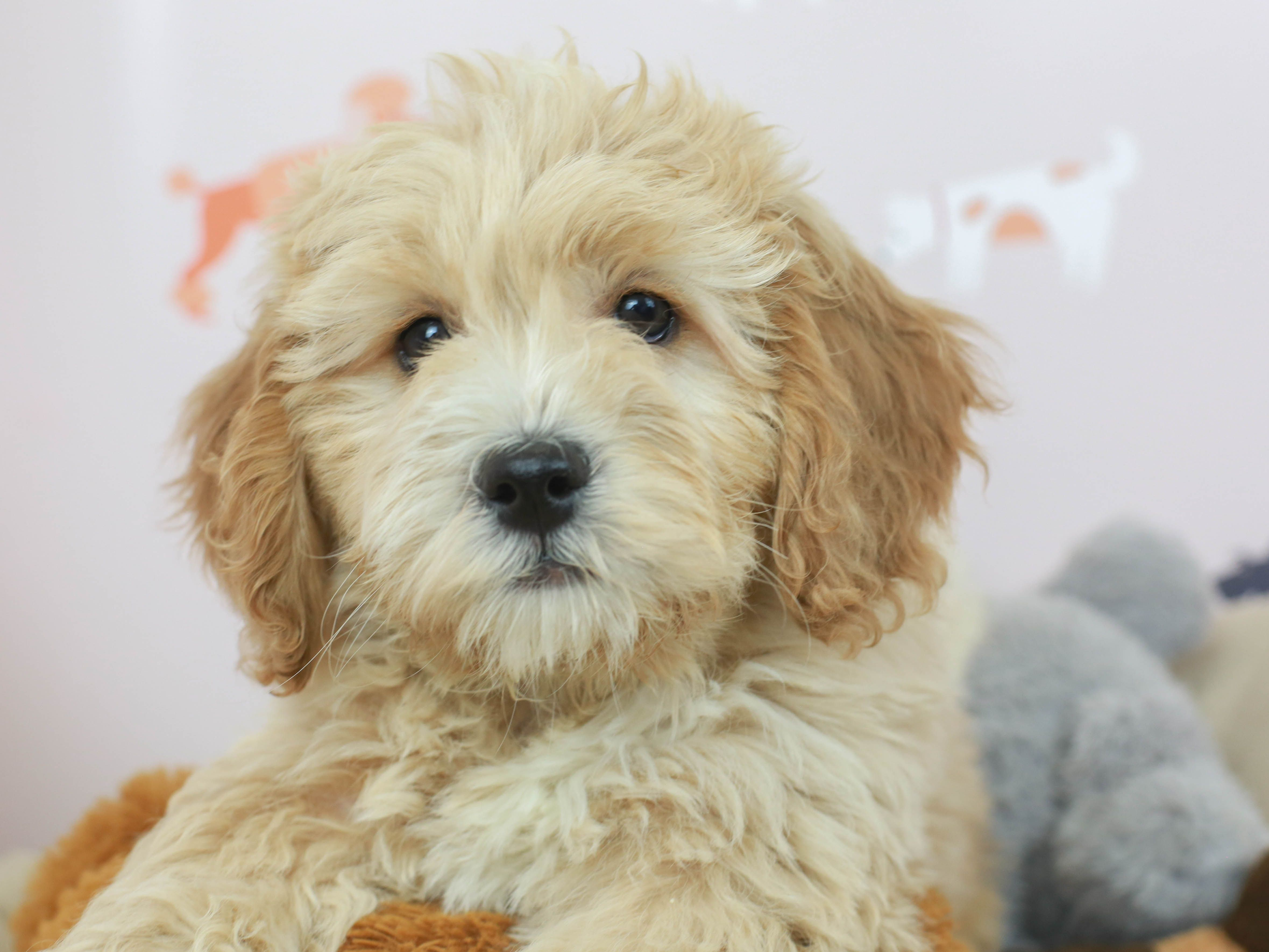 Mini newfiepoo in 2020 puppies for sale puppies