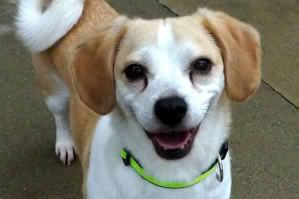 Adopt Max On With Images Corgi Beagle Corgi Beagle Mix