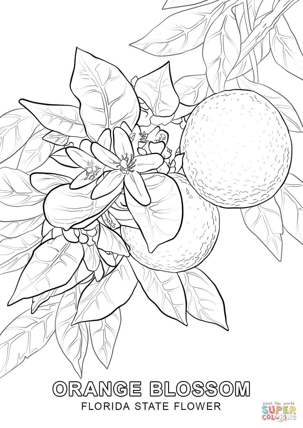 Florida State Flower Super Coloring Cute Coloring Pages
