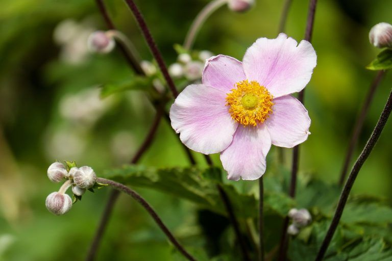 What Does Anemone Flower Meaning And Symbolism Morflora Anemone Anemone Flower Flower Essences