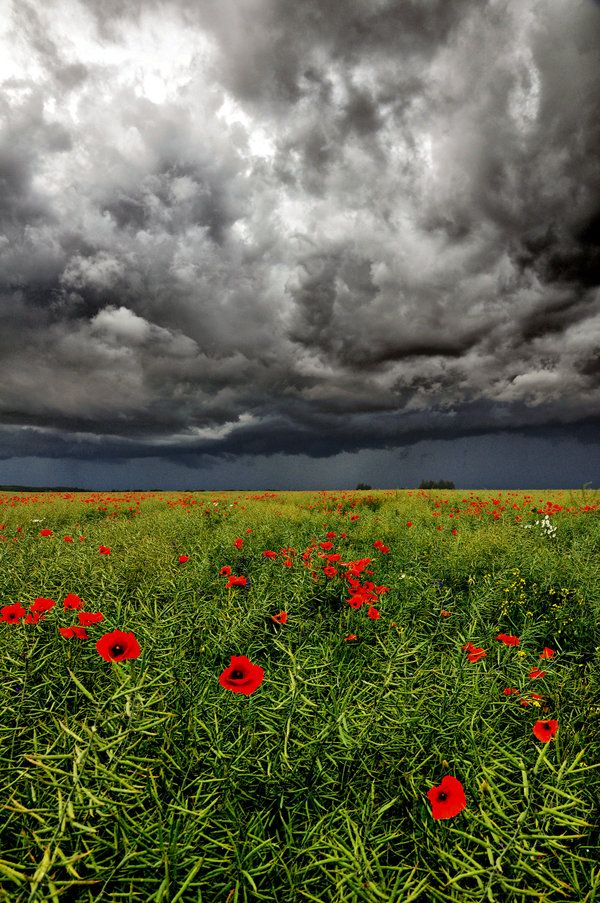 Field poppy II by tomsumartin