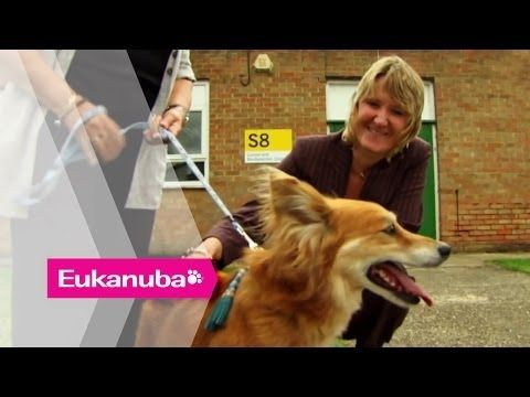 Cancer detecting Dogs - Part 1 | Extraordinary Dogs - WATCH VIDEO HERE -> http://bestcancer.solutions/cancer-detecting-dogs-part-1-extraordinary-dogs    *** training dogs to detect cancer ***   Maureen had her life changed when her dog Max started to act differently around her – Maureen, sensing her dog's strange turn, went to the hospital and found she had a cancerous tumour. Maureen had the lump removed and has now made a full...