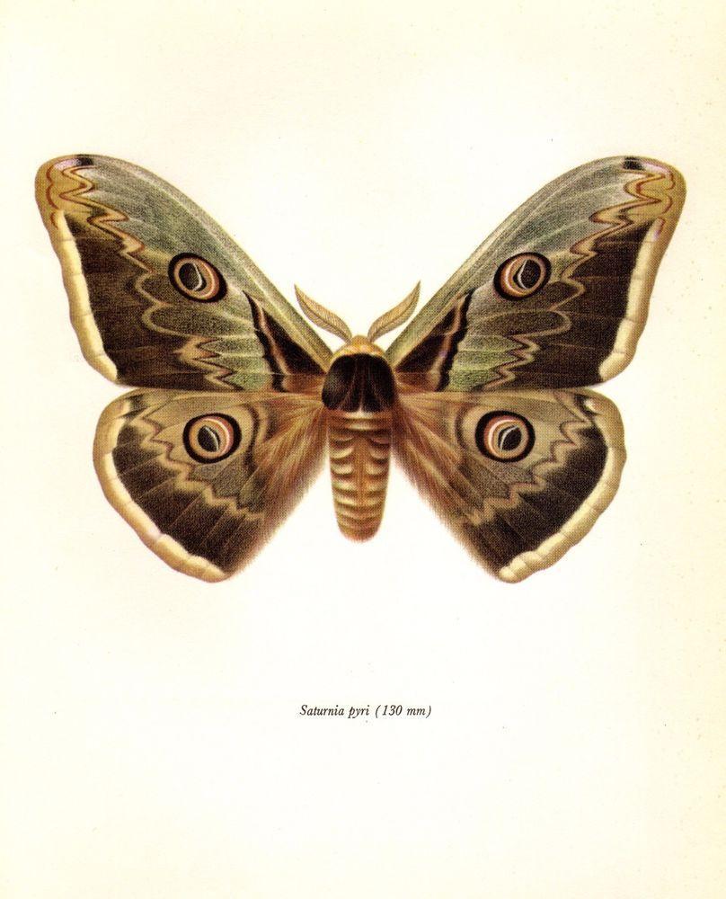 Antique Moth Print Vintage Giant Peacock Moth Print Insect Print 2104 Vintage Schmetterling Motte Insekten