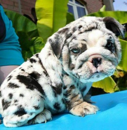 Super Dogs And Puppies Miniatures English Bulldogs 17 Ideas -   #bulldogs #DogsAndPuppies #english #ideas #miniatures #puppies #super
