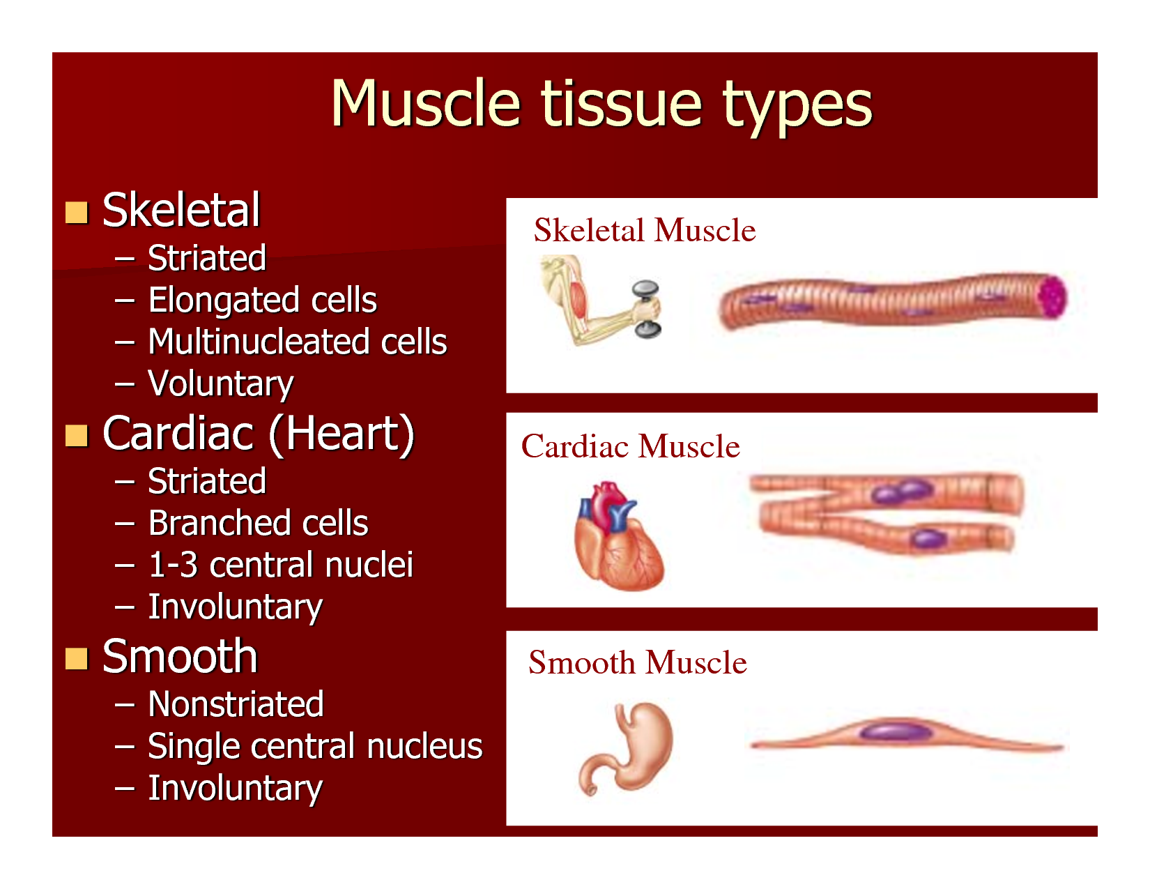 Muscle Cell Comparison Human Biology Pinterest Muscular System