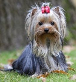 Yorkshire Terrier Puppy Dogs