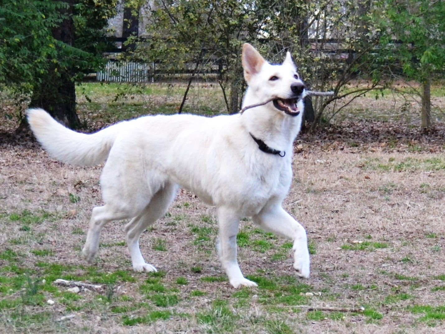 This Is Shiro A Three Year Old White German Shepherd Dog She Is