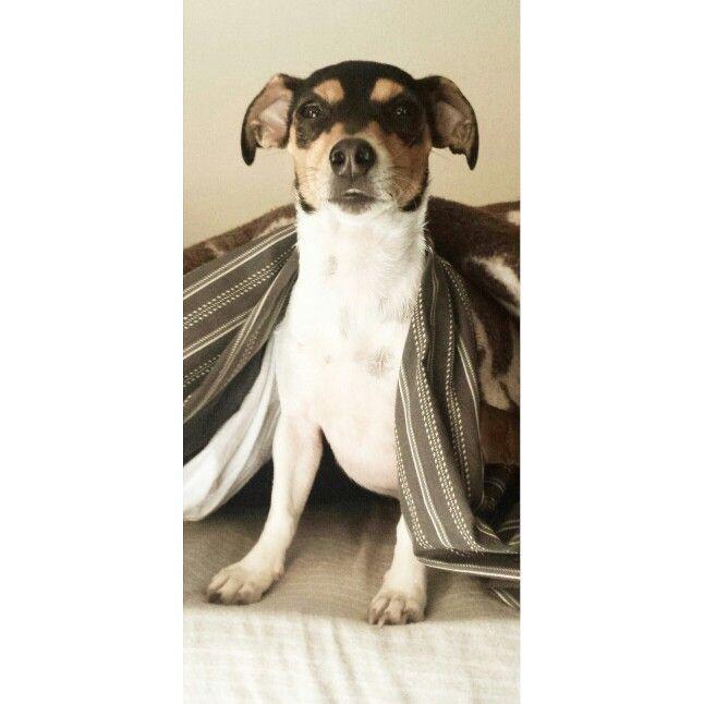 Pixel the Toy Fox Terrier!