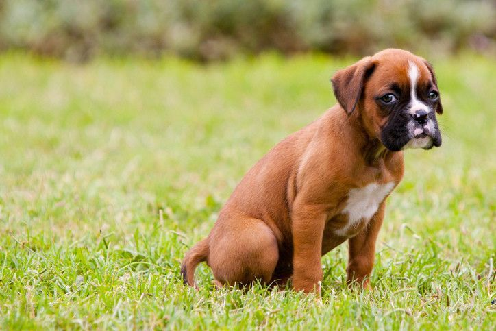 How To Potty Train A Boxer Puppy A Step By Step Guide Training