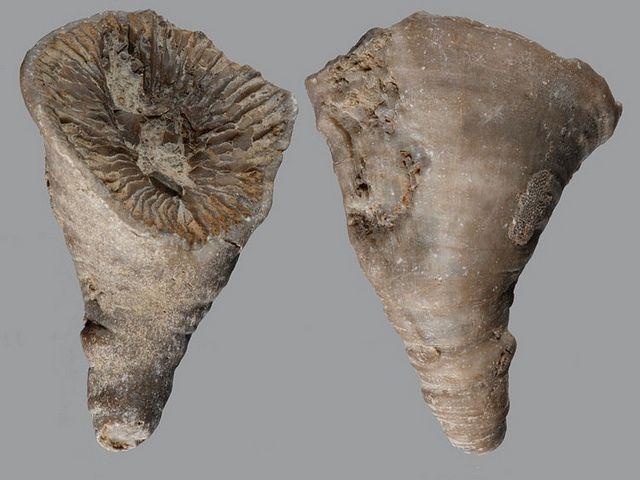 Genuine Fossil Coral Fossilized Paleontology Specimen