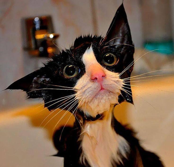 ¿Cada cuánto debo bañar a mi gato? Aunque algunos no lo crean, es recomendable, así como lo hacemos para los perros, bañar a tu gato 1 vez al mes. En #VitalVet tenemos un espacio para el. Pregúntanos Tel. 4441299 #Pets #Dogs #Cats #VeterianariaMedellin #Tienda #Mascotas Imagen vía: http://goo.gl/i1Wc8E
