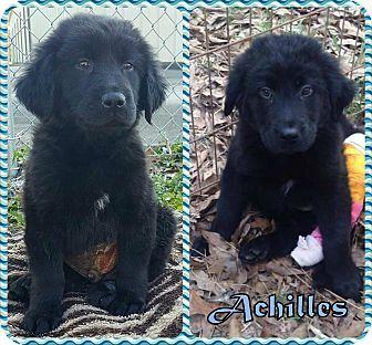 2 14 17 Ringwood Nj Newfoundland Labrador Retriever Mix Meet Achilles A Puppy For Adoption Http Www Adoptapet Com Pet Pets Puppy Adoption Newfoundland