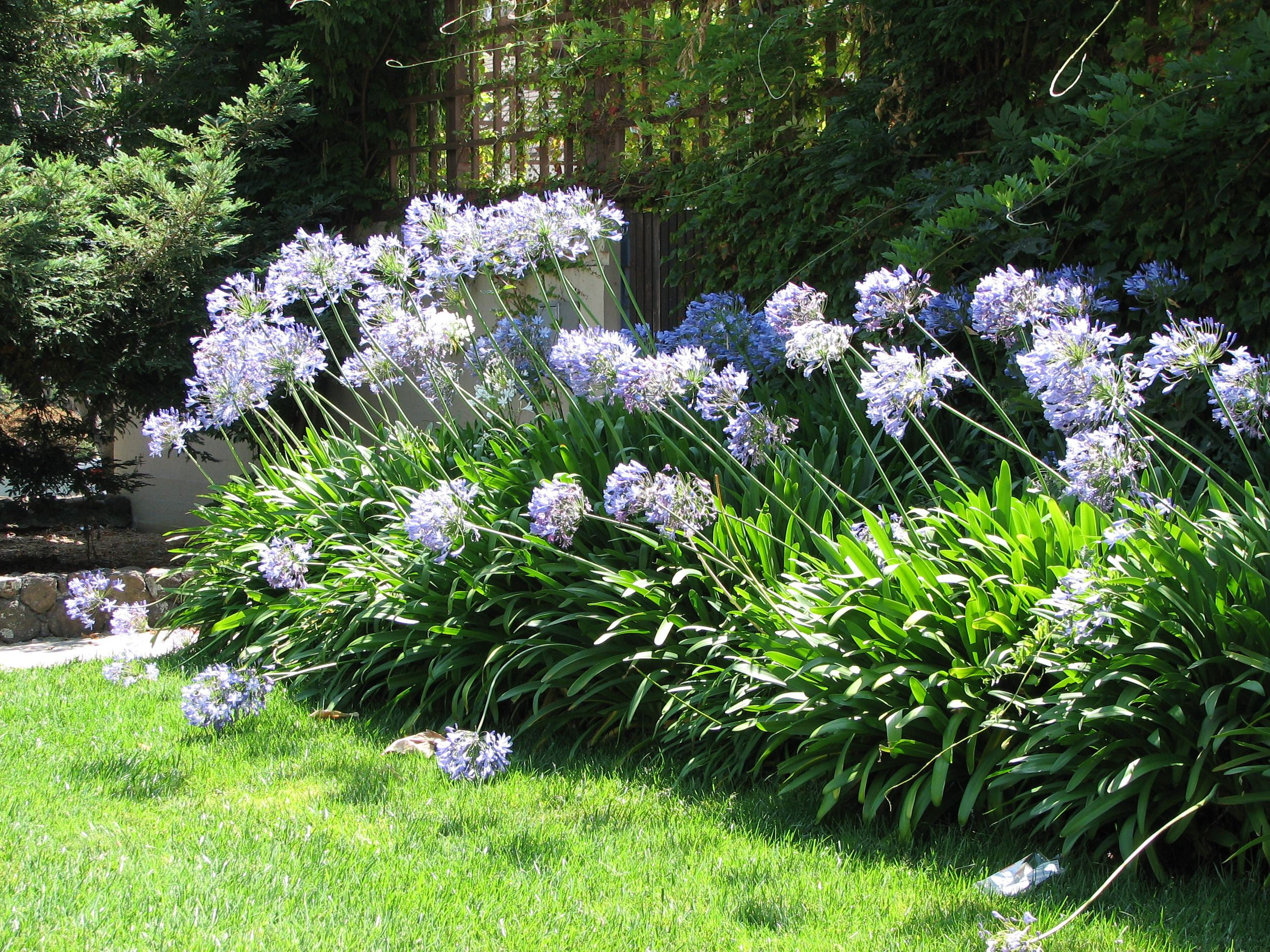 How To Grow Agapanthus In Pots For Better Protection Tuin Grassen Border Tuin Tuin