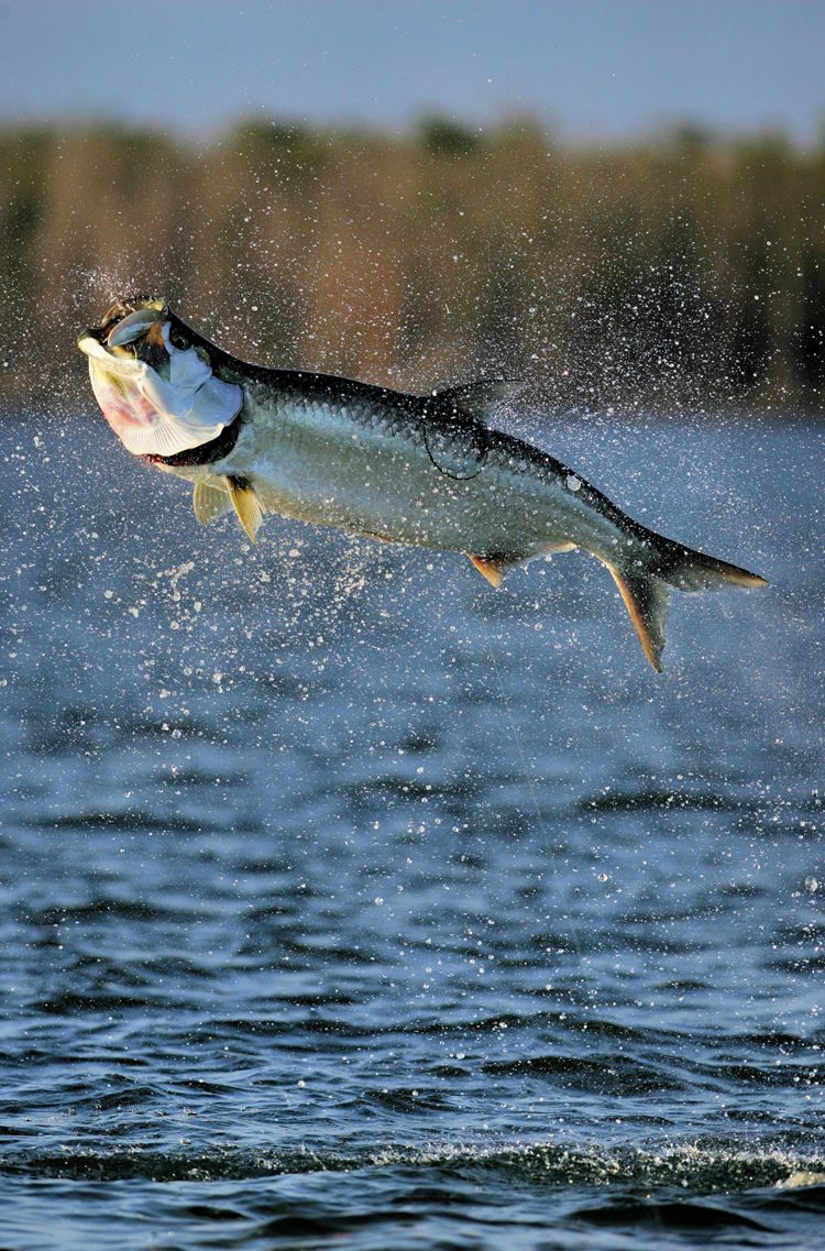 Fly fishing for tarpon is one of the biggest challenges in for Fly fishing for tarpon