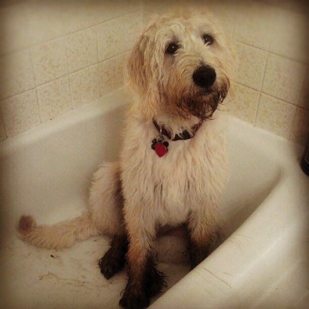 My Naughty Labradoodle Ava. <3