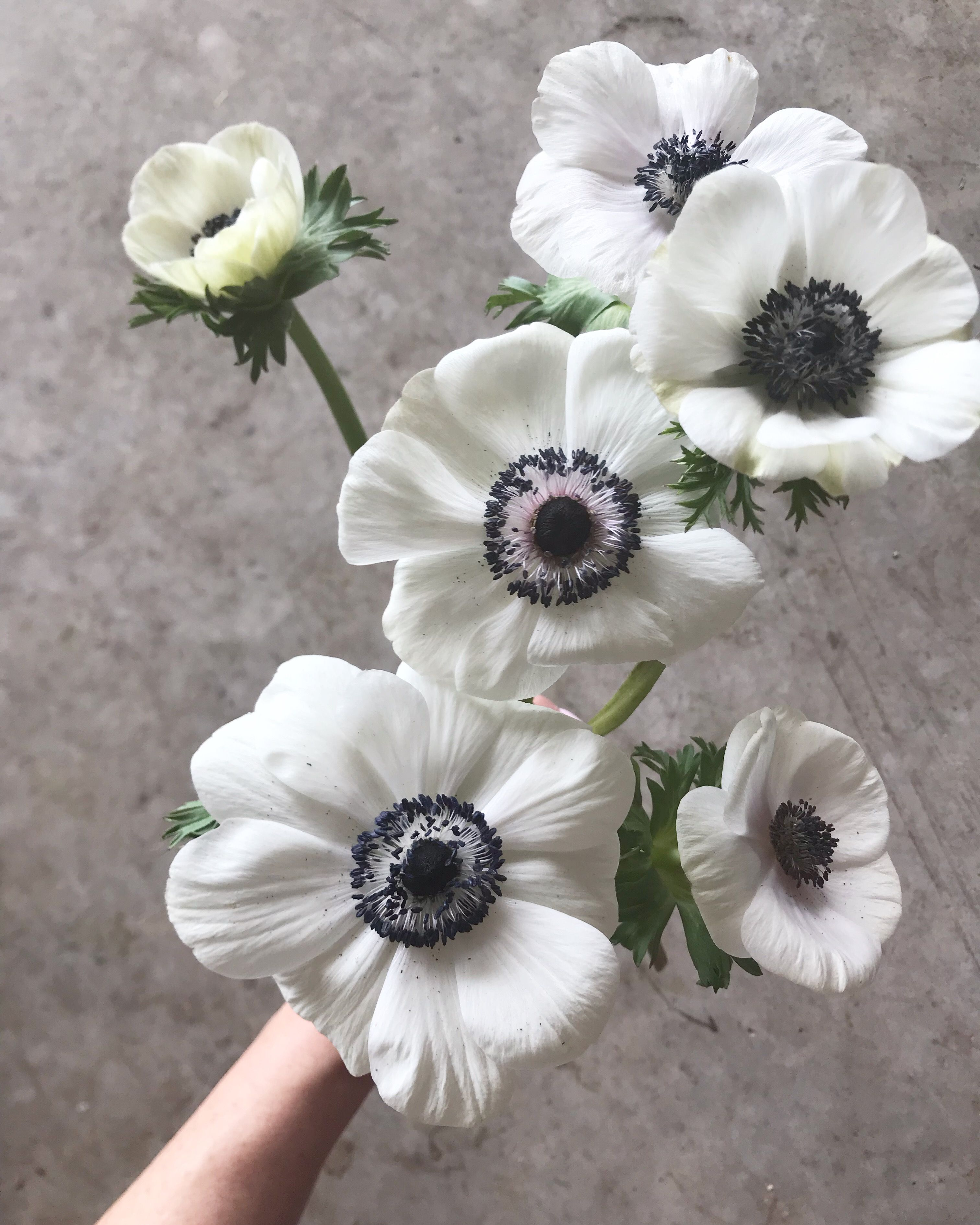 Anemone With Black Center Panda Anemone Wedding Florist Houston Wedding Dfw Wedding