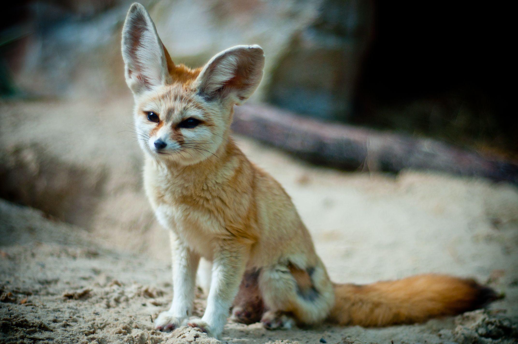 Fennec Fox Desert animals, Dog boarding near